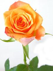 pomarańczowa różana białym