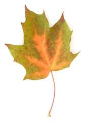 pomarańczowo zielony liść klonu