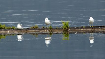 Three gulls perched.