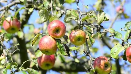 Reife Äpfel auf einem Baum
