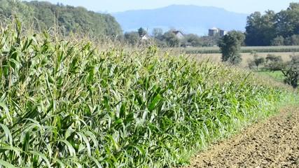 Maisfeld vor der Ernte