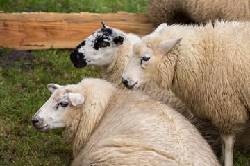 Sheep in a Dutch pasture