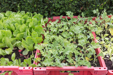 Grow vegetables in a  red plastic box