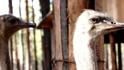 Ostrich head behind the fence