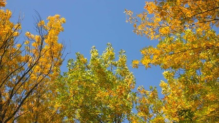 yellow autumn leaves falling from the treetops