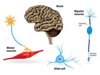 Nervous system. Human anatomy