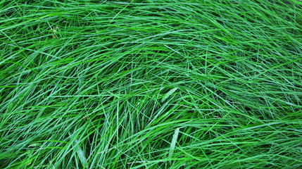 Green grass as background