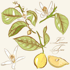 Collection of vector hand drawn lemon tree  flowers and lemons
