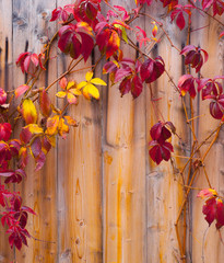 Autumn leaves on wooden fence