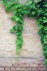 Green leaves on the background of a brick wall