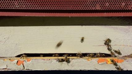 Honigbienen Biene apis 1020