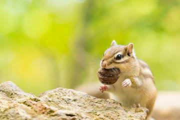 胡桃を食べるシマリス
