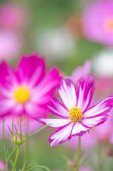鮮やかなピンクのコスモス