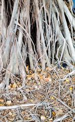 banyan texture,Nature background
