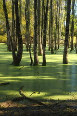 Duckweed Swamp in Central New Jersey