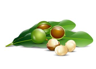 macadamia nuts white background natural organic