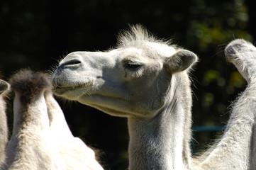 Portret wielbłąda,Camelus dromedarius