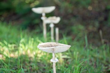Pilze im Gras