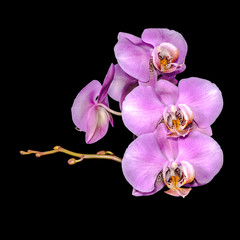 beautiful gentle lilac branch orchid, phalaenopsis on black back