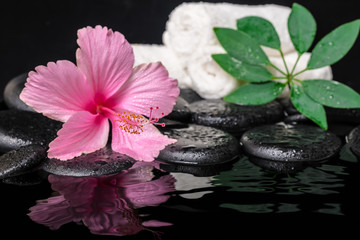 still life of pink hibiscus flower, green leaf shefler with drop