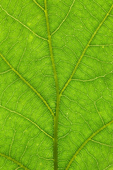 oak leaf structure closeup