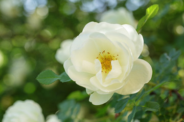 white rose briar blooming