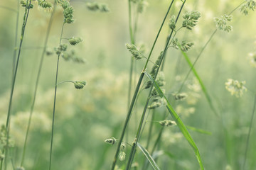 meadow weed grass in summer