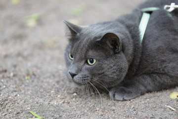 young british gray cat hunting outdoors