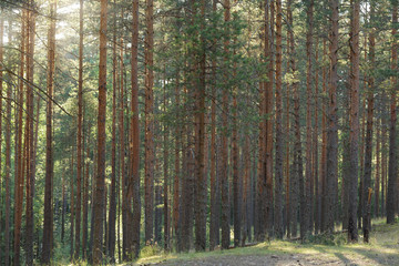 tranquil pine forest lanscape