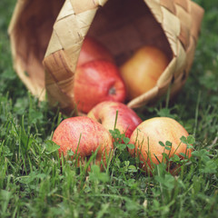 ripe apples in wicker basket