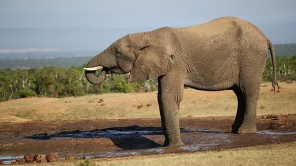 An African bull elephant drinking water at a waterhole