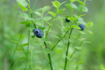 forest bilberry close up