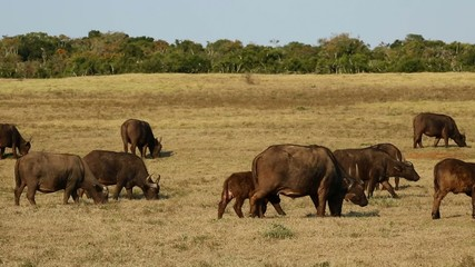 Herd of African buffaloes grazing in grassland