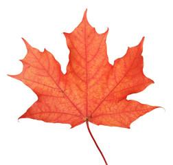 single maple autumn leaf