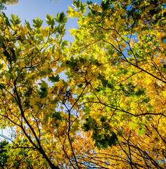 Maple leaves in early autumn