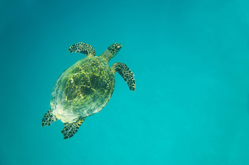 Turtle in the blue ocean