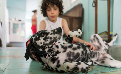 Dalmatian female pet dog