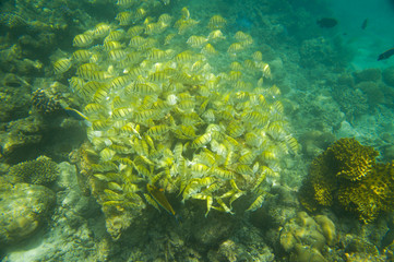 Yellow school of fish