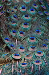 Close up image of Peacock Tail