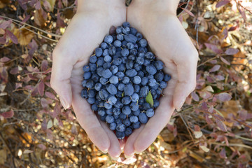 wild blueberries and blackberries in the hands of