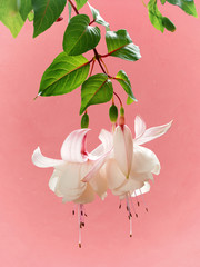Fuchsia Trailing Annabelle on pink background