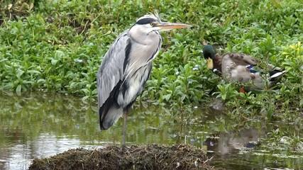 Water Birds Heron and Duck