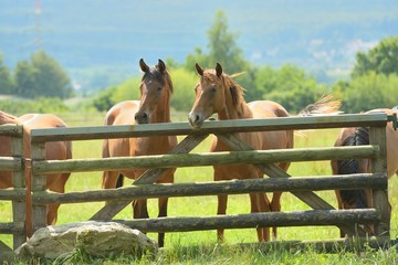 Pferde am Zaun