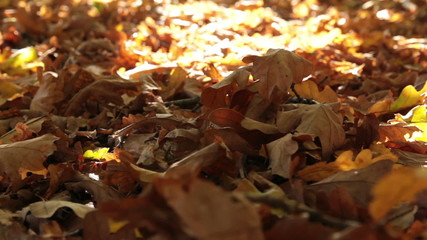 dry oak leaves dolly shot