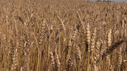 Ripe wheat plant crop ears move in wind. Backward sliding