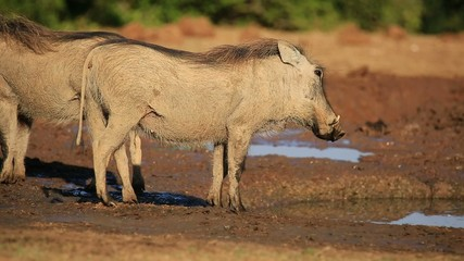 Two warthogs at a waterhole