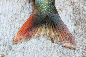 Close-up of a newly catched european perch laying on plank