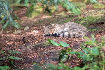 schlafende Wildkatze