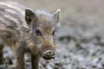 Wildschwein, Wild boar, Sus scrofa