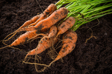 carrots in the garden, close-up.